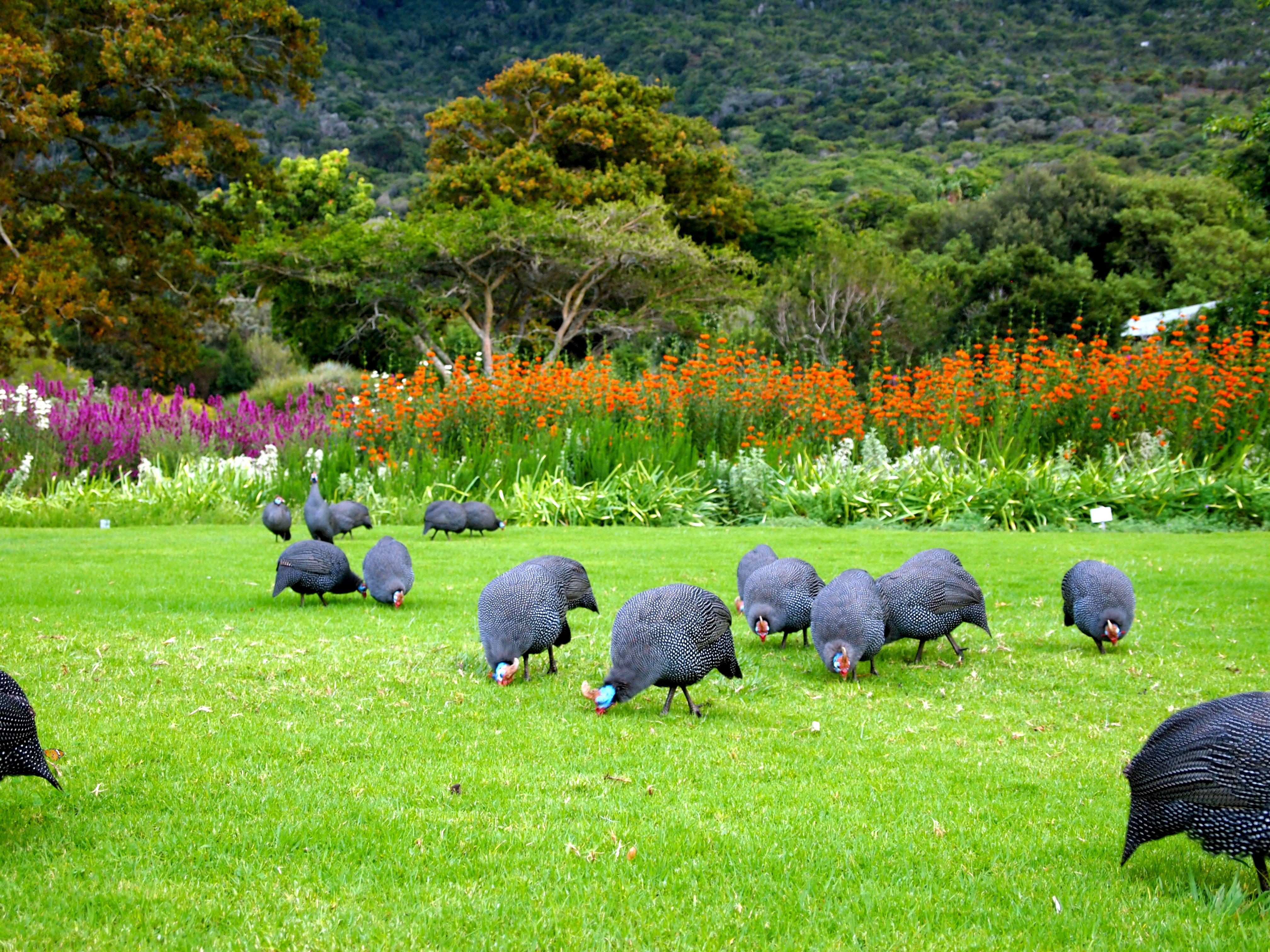 Kirstenbosch botanical gardens fabulous 50 39 s for Garden pictures