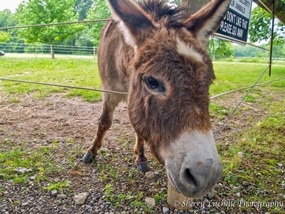 Friendly donkey at Harmony Hill Vineyards